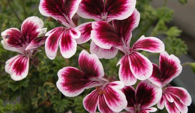 Pelargonium Verdale