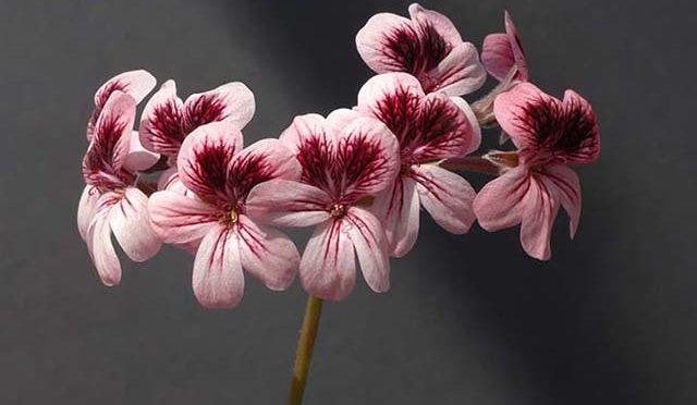Pelargonium Pomona