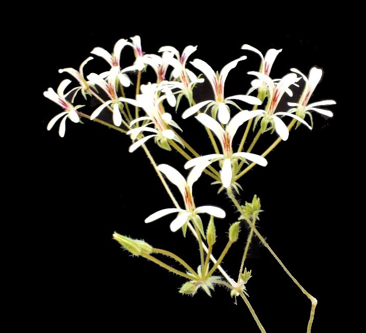 P. fissifolium (pic: Tom Glavich)
