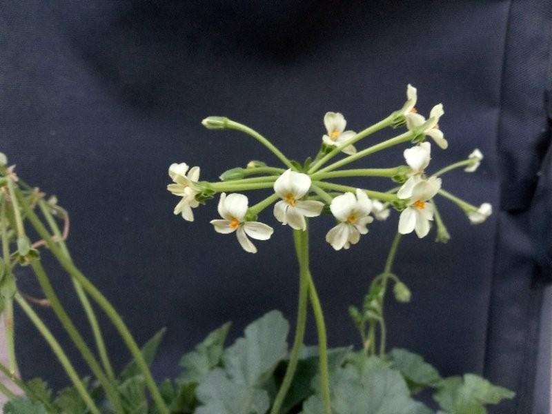 P. pulverulentum (pic: Jay Kapac)