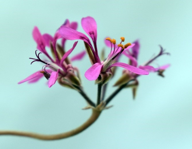 P. triphyllum (pic: Tom Glavich)