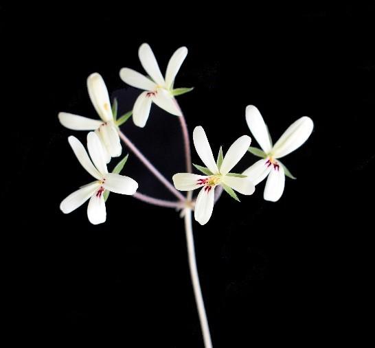 Pelargonium species Hoarae ex Toshiaki Ohgi IGG 1370 picture by Tom Glavich